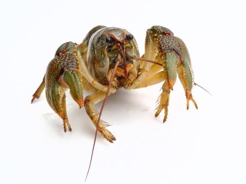 lobster-1538643_1280