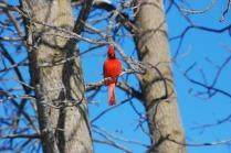 cardinal-646939_1280