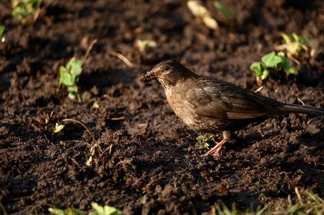 Dirt Bird nature-3313973_1280