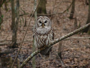 barred-owl-541173_1280