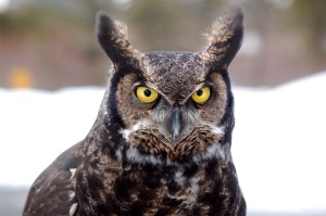 great-horned-owl-744357_1280