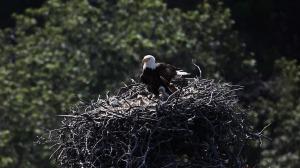 Nest bald-eagles-1761466_1280