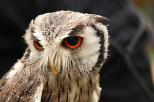 Screech owl bird-1646100_1280