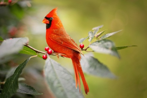 cardinal-2872966_1280
