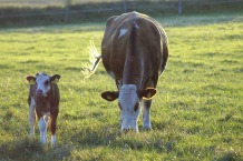 cow-4370261_1280