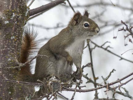squirrel-300223_1280